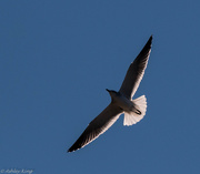 1st Nov 2014 - Soaring seagull