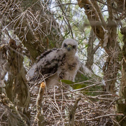 3rd Nov 2014 - Juveniles Brown Goshawk
