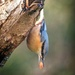 Nuthatch - 3-11 by barrowlane