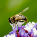 Bee on the Stattice by salza