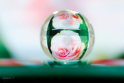 4th Nov 2014 - Rose in a water bead