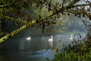 4th Nov 2014 - Swans in the morning - 4-10