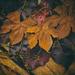 Rusty Leaves ... Literally by lyndemc