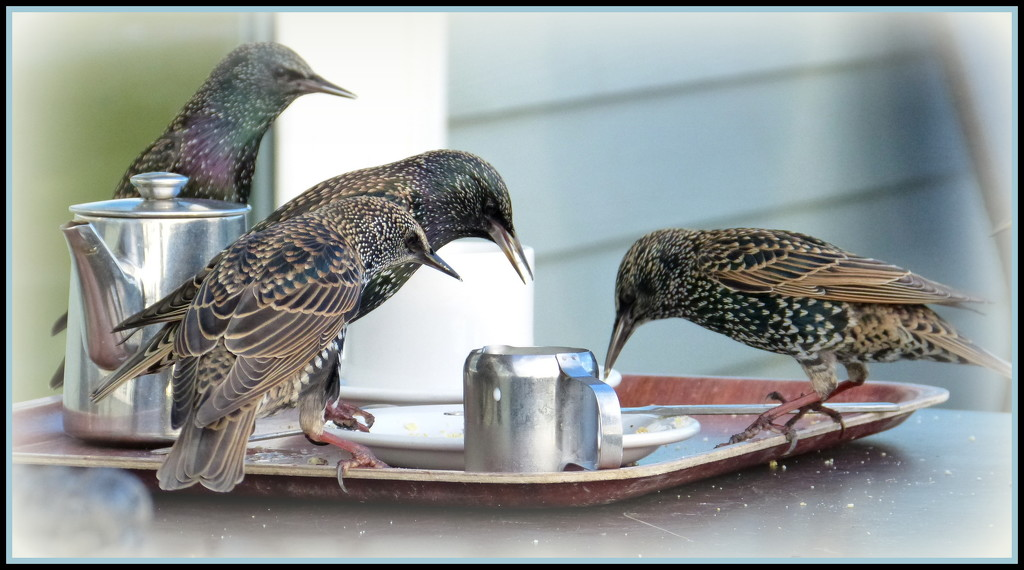 refreshment for starlings......... by quietpurplehaze
