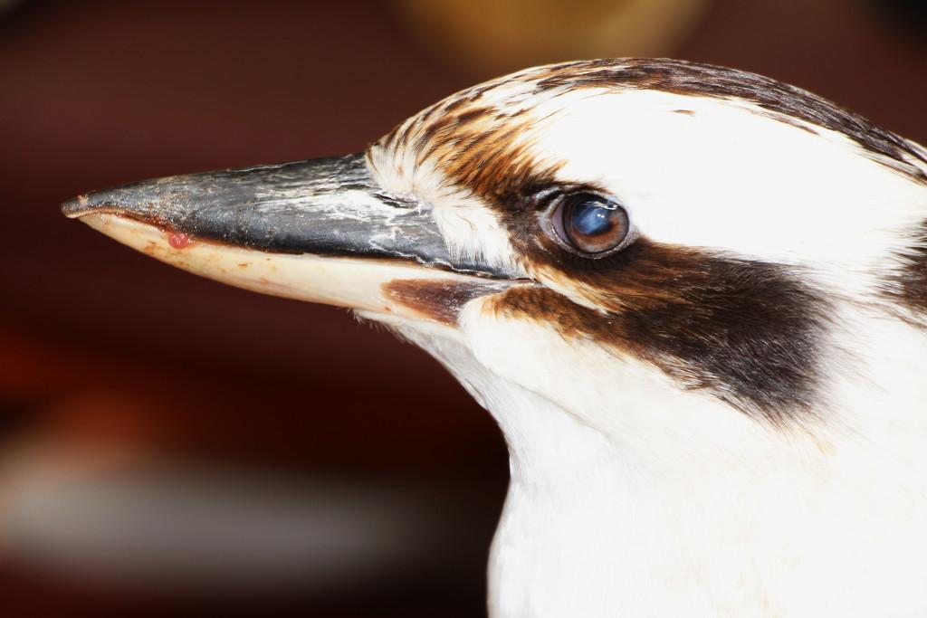 Kookaburra's Bad Eye by terryliv