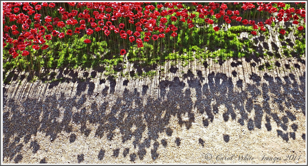 Poppies And Their Shadows by carolmw