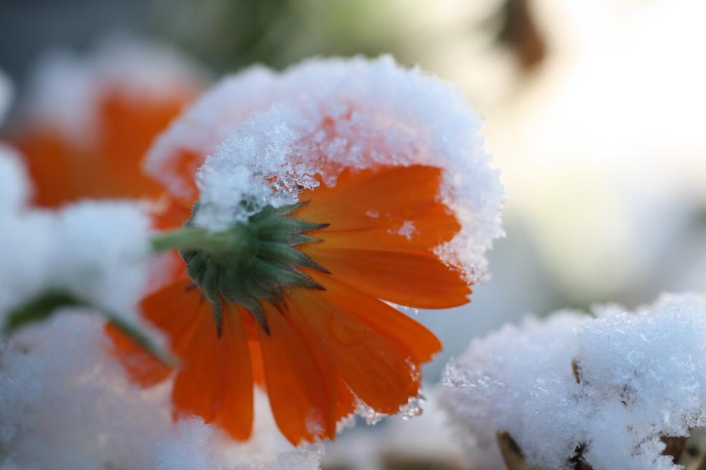 Snowy Calendula by sarahlh