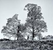 2nd Nov 2014 - 5th November 2014 - Two Trees B&W