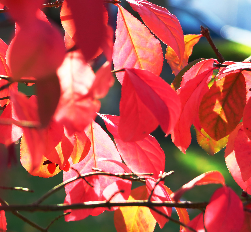 Red Leaves by april16