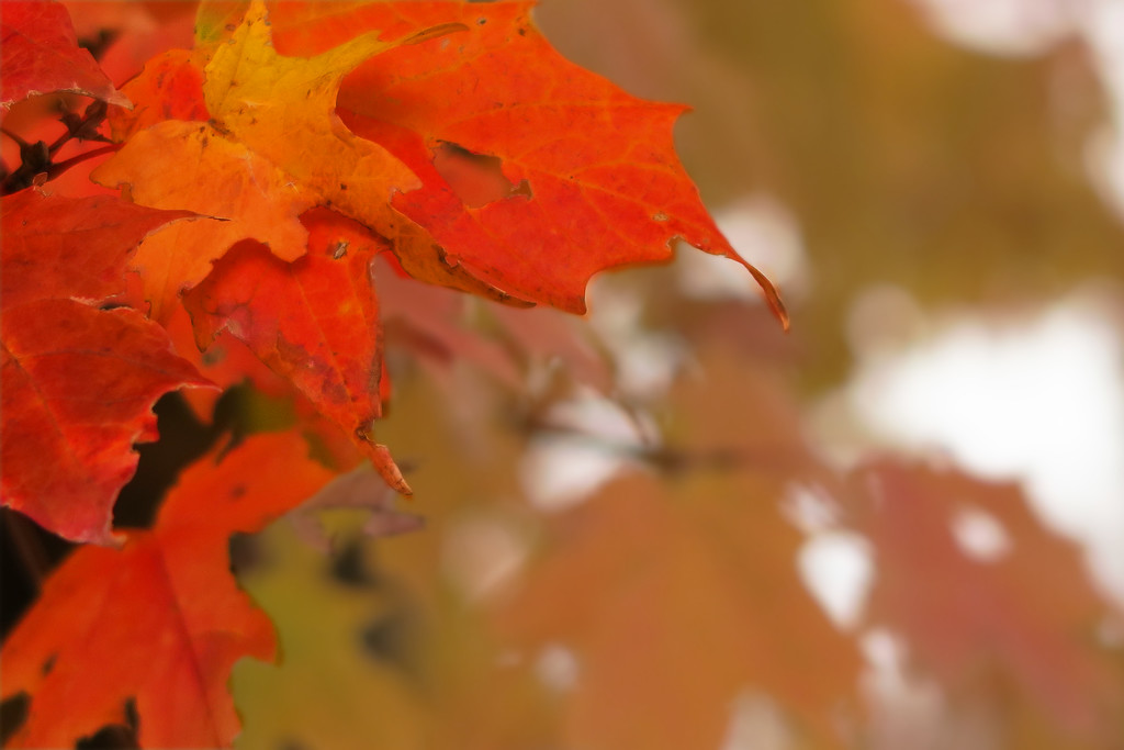 More Autumn Leaves by april16