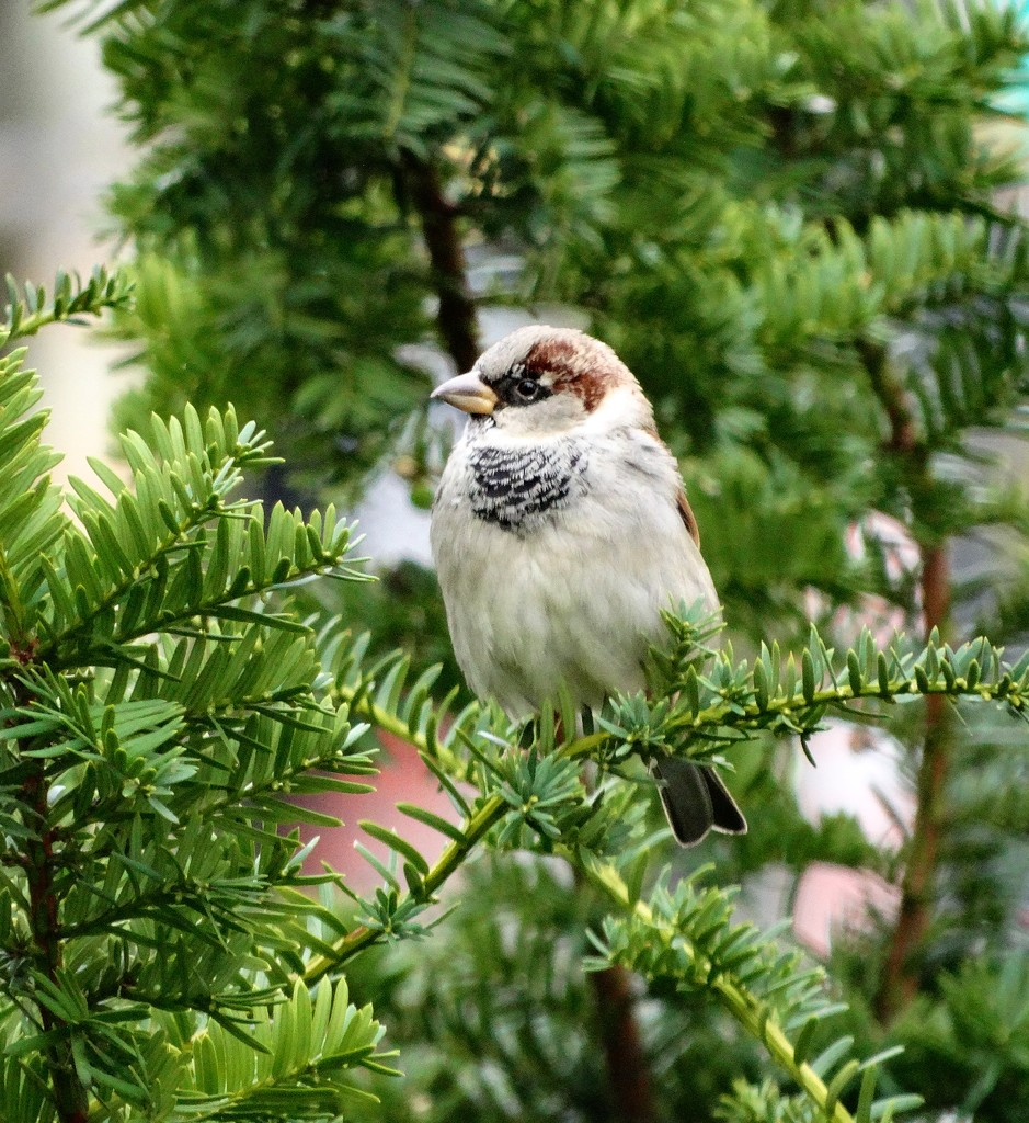 A Cheery and Sociable Sparrow by khawbecker