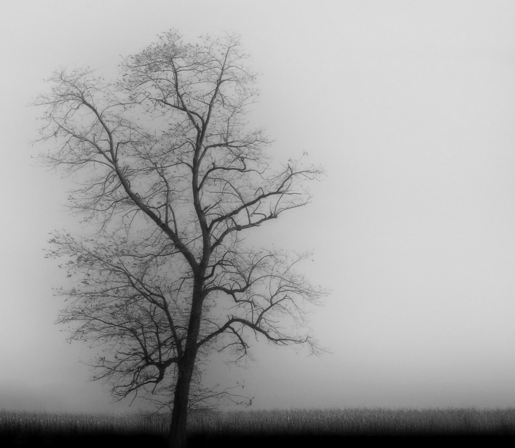 Tree In Fog by digitalrn