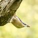 Nuthatch with nut - 6-11 by barrowlane