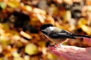 23rd Oct 2010 - Chickadee