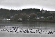 6th Nov 2014 - We Cornered the Market on Canada Geese!