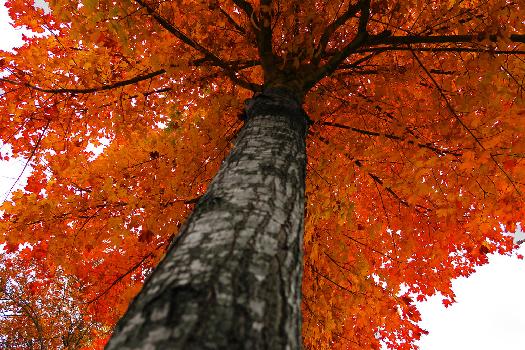 Tree in Autumn by april16