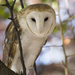 Barn Owl by ksmale