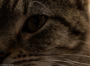 8th Nov 2014 - Eye of the Tiger