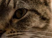 9th Nov 2014 - Eye of the brighter Tiger