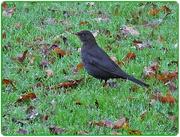 10th Nov 2014 - Blackbird