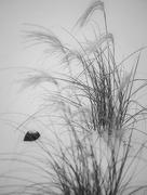 10th Nov 2014 - Wind, Snow, Grasses, Rock