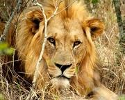 5th Nov 2014 - Lion King