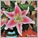 My Birthday Lillies have Opened by ladymagpie
