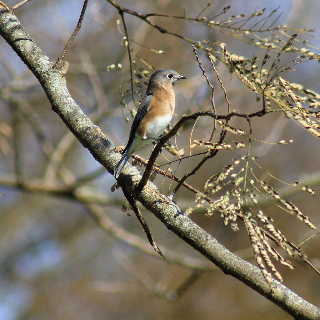My bluebirds are back by cjwhite