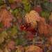 Fall berries by loweygrace