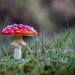 Fly Agaric Mushroom by vignouse