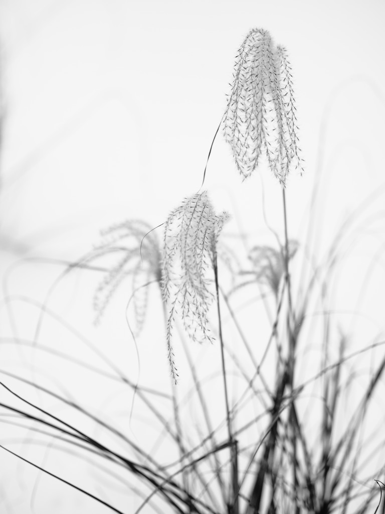More Grasses by tosee