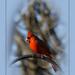 The Cardinal by randystreat