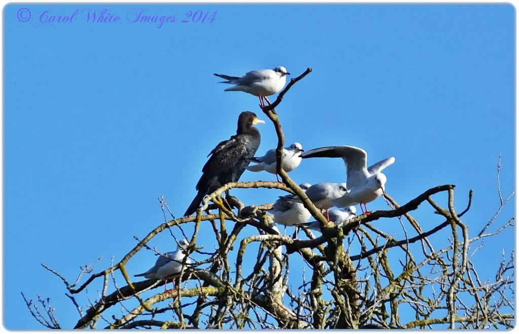 Cormorant And Gulls by carolmw