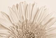 13th Nov 2014 - Chrysanthemum Fan