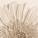 Chrysanthemum Fan by bella_ss