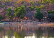9th Nov 2014 - At the Watering Hole