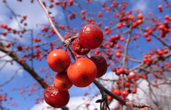 Berries on a tree by mittens