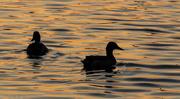 15th Nov 2014 - Ducks at sunset