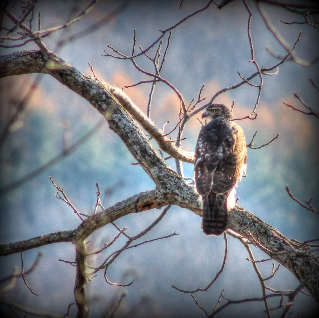 Hawk Keeping an Eye on Me by not_left_handed
