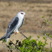 Black Shouldered Kite by salza