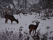 17th Nov 2014 - Deer At Work?