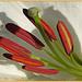 Lily by carolmw