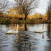 Swans and cows - 18-11 by barrowlane