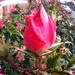 Last Rose of Summer