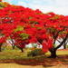 Poinciana 1 by terryliv