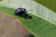 20th Nov 2014 - Harlequin Bug