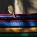 Morning on the Hammock--ONS9-Wildlife by darylo