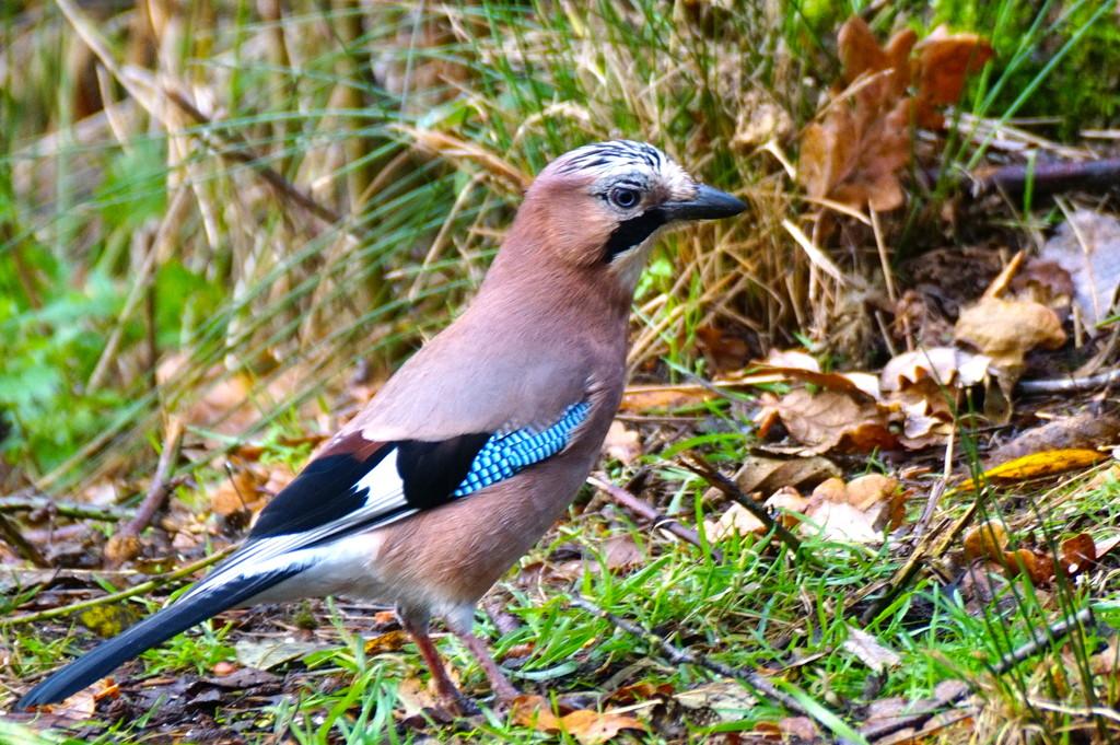 JAY BIRD by markp
