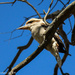 Kookaburra at rest by flyrobin
