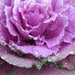 Ornamental Cabbage by seattlite